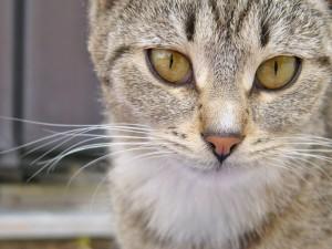 Kočka, Hudlice
