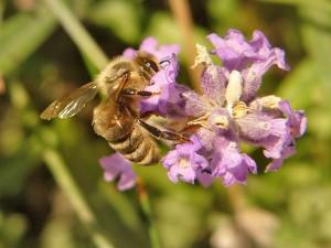 Včela – makro