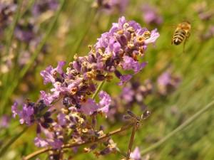 Odlet včely, Hudlice